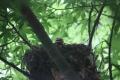 ヒヨドリの巣立ち-9