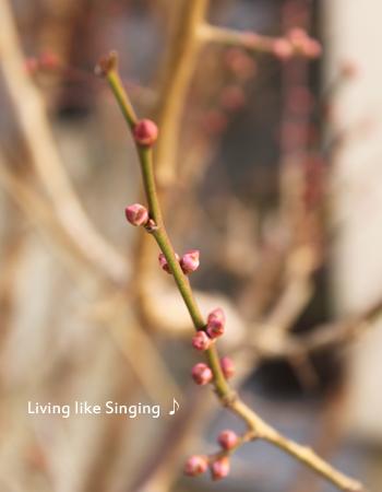 豊後梅のつぼみ