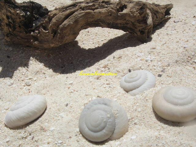 ヒロベソカタマイマイの化石