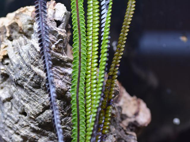 Stromatopteris monilifornis -1-nc_4823