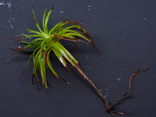 Dracophyllum sp-2-nc_4811
