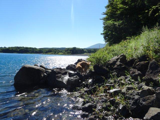 本栖湖 犬 2015-7-22 052