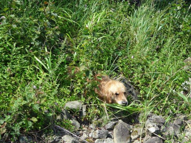 本栖湖 犬 2015-7-22 074