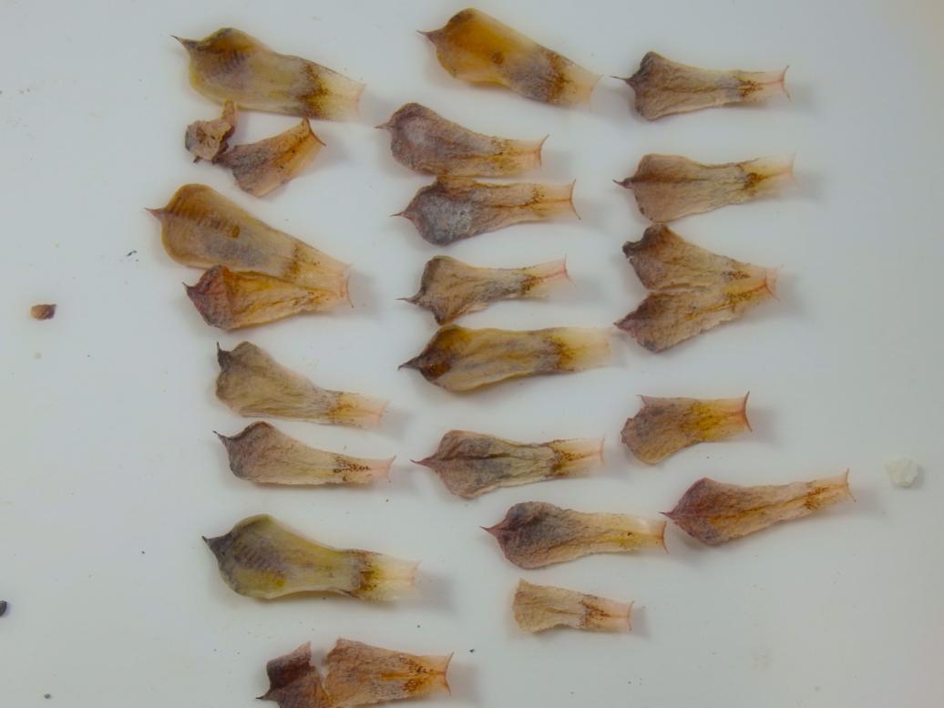 ザラゴーザの枯れ葉
