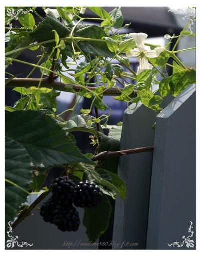 ホーゲルビーホワイト2番花+ブラックベリーweb用