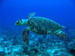 250px-Hawksbill_Turtle.jpg