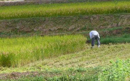 早い稲刈り風景