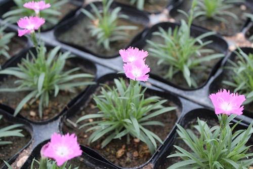 四季咲きナデシコ ダイアンサス Dianthus hybrids 育種 生産 販売 松原園芸