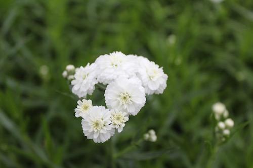 アキレア ノブレッサ Achillea ptarmica'Noblessa'  生産 販売 松原園芸