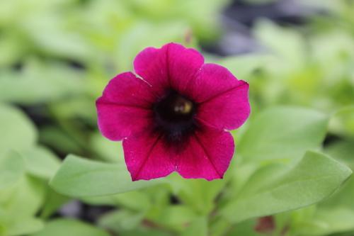 カリブラコア Calibrachoa Petunia ペチュニア 実生 発芽  育種 生産 販売 松原園芸