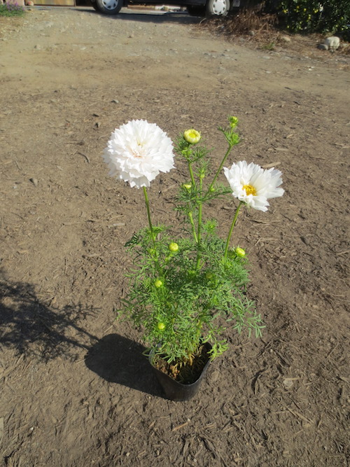 Cosmos 八重咲きコスモス ダブルクリック  生産 販売 松原園芸 直売
