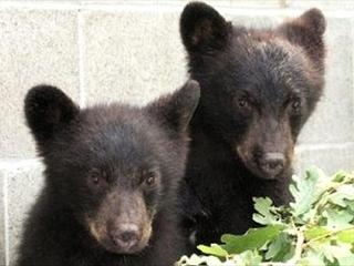 150712_カナダ・バンクーバー島で保護された子熊のジョーダンとアテナ001VGA