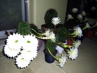 150724_3335今夜咲いたサボテンの花達wideVGA