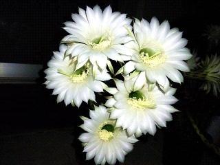 150724_3336今夜咲いた子サボテンの花達zoomVGA