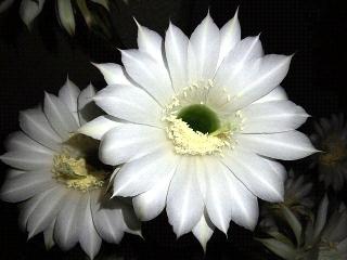 150724_3338今夜咲いた子サボテンの花達zoomVGA