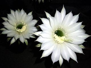 150724_3339今夜咲いた子サボテンの花達zoomVGA