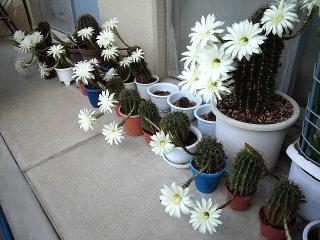 150725_3341今朝のサボテンの花たちwideVGA