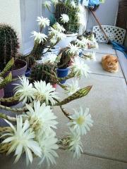 150725_3346今朝のサボテンの花達とトラ美ちゃんwideVGA