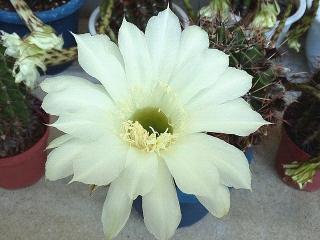 150726_3350今朝のサボテンの花VGA