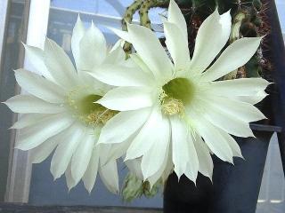 150726_3351今朝のサボテンの花VGA