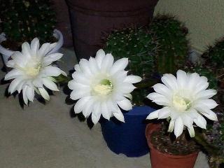 150807_3381今夜開いたサボテンの花3輪VGA