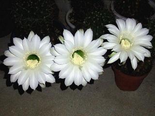 150807_3382今夜開いたサボテンの花3輪VGA