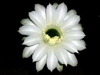 150807_3383今夜開いたサボテンの花3輪zoomVGA
