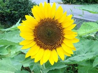 150809_3389路傍の花壇に咲いていた向日葵VGA