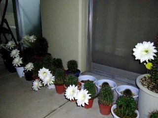 150820_3402今夜開いたサボテンの花達wide逆サイドからVGA