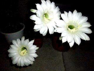 150820_3403今夜開いたサボテンの花達zoomVGA