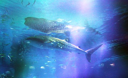 ジンベイザメの遊ちゃん