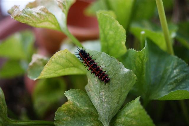 大きなツマグロヒョウモンの幼虫