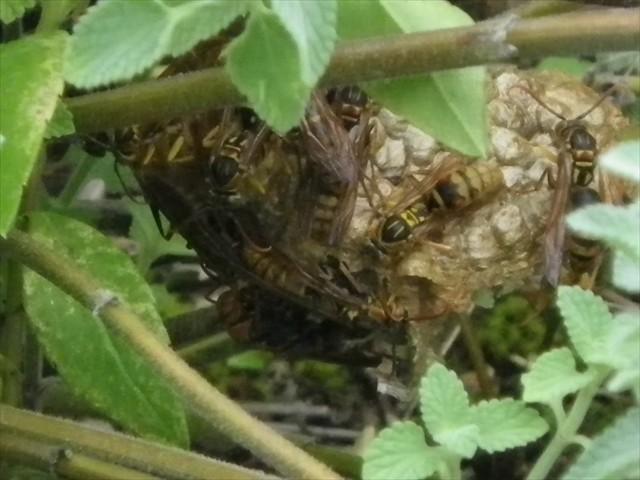 アシナガバチが増殖!