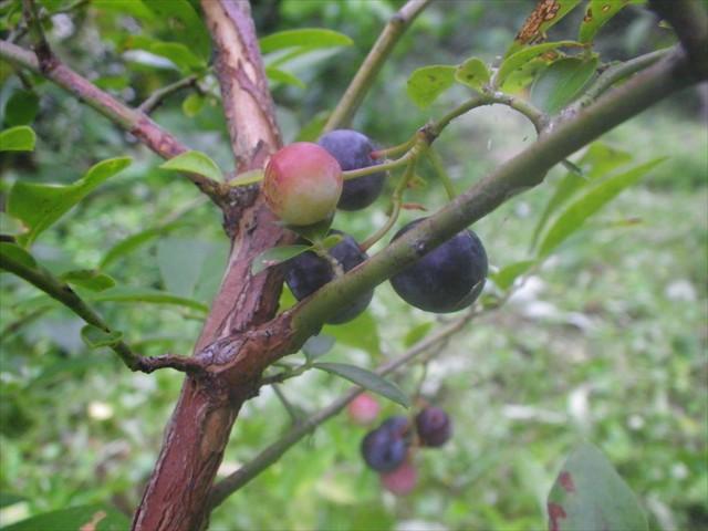 ブルーベリーの収穫-3