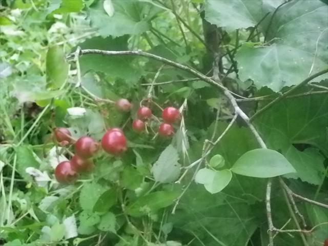ブルーベリーの収穫-4
