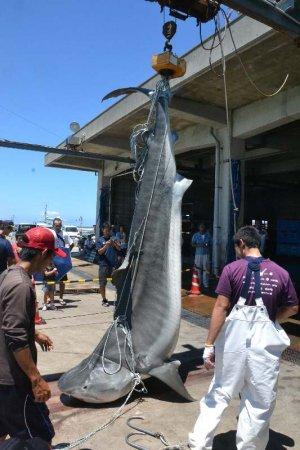 4mの巨大サメ