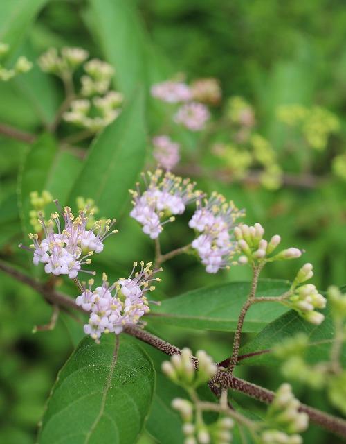 紫式部の花 たて 27.7.25