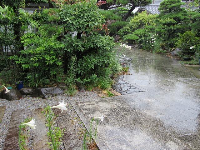 雨→高砂百合も嬉しそうです 27.8.19