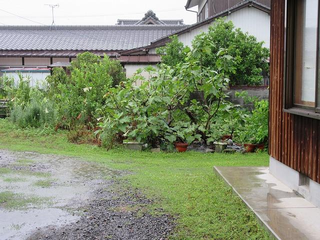 雨→無花果の木も喜んでる 27.8.19
