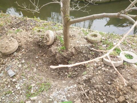 桜の植樹(5)