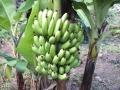 三尺バナナ収穫前3