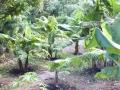 バナナ畑1