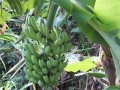 三尺バナナ収穫前2