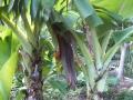 三尺バナナ開花