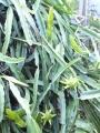 ドラゴン白結実開花1