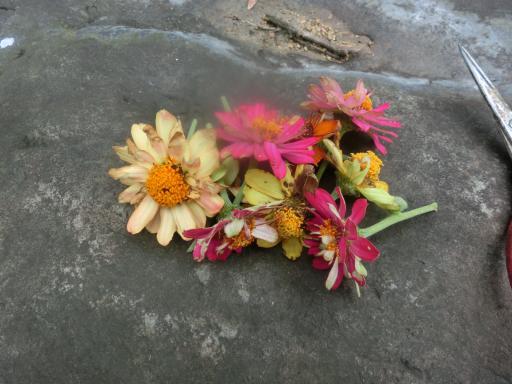ジニアの花がら。