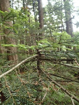 傘形樹形2