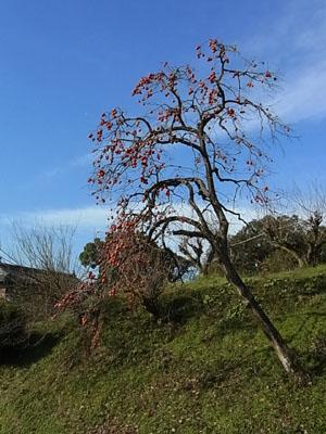 柿の木2014