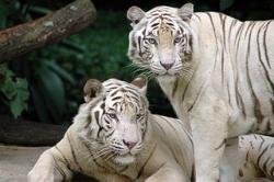 320px-Singapore_Zoo_Tigers.jpg