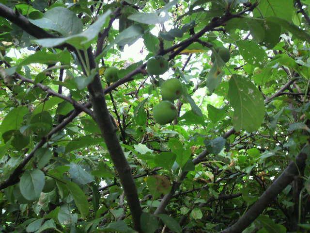 裏のリンゴ